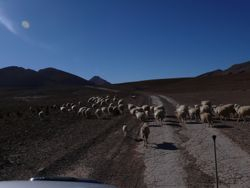 Sheep Herd in Mount Mgoun