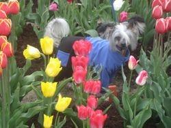 Cory in tulips (Valka, May 20)