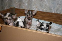 Monty's puppies (November 2008)