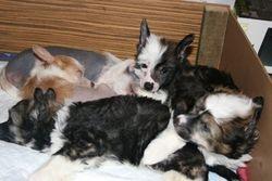 Roxy's puppies (November 2008)