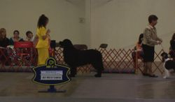 Truman in Best in Show Ring for Best Bred By