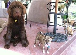 Kapono with his Chihuahua pals!