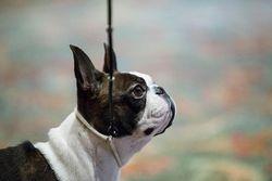 Boston Terrier Club of America--5/17/13