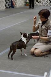 Boston Terrier Club of New York--2/9/13