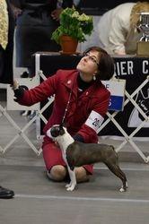 Boston Terrier Club of New York--2/10/13