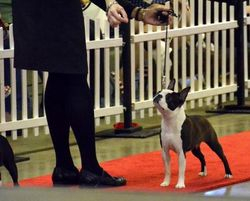 Boston Terrier Club of Maryland--4/13/13