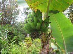 Apple Banana's