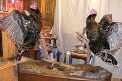 Fighting Turkeys
