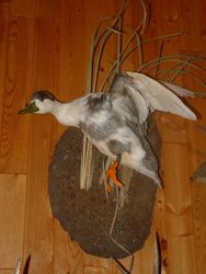Cross bred Duck