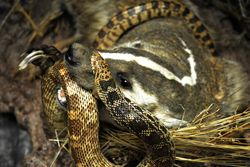 Badger and Bullsnake