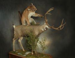 Mountain Lion & Mule Deer