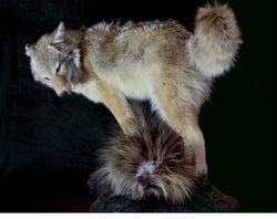 Coyote & Porcupine