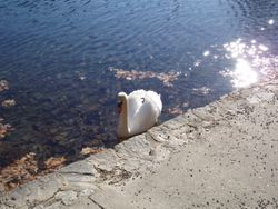 A Swan in Lake Susan