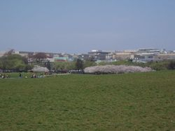 Cherry Blossoms on the Monument Hill