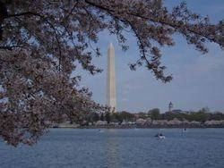 Cherry Blossoms frame the Washington Monument