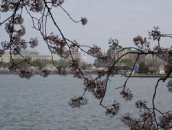 The Capital Building framed by Cherry Blossoms