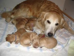 True and her 3 day old puppies