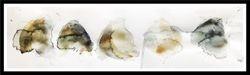 Mushroom Draps