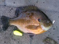 Miss River Sunfish