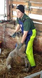 Sheep Shearer Mike Foot Trimming 1