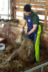 Sheep Shearer Mike Foot Trimming 3