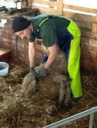 Sheep Shearer Mike Foot Trimming 2