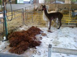 Alpaca Shearing One Before One After