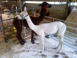 Alpaca Shearing Both Done