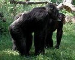chimpanzee-ape