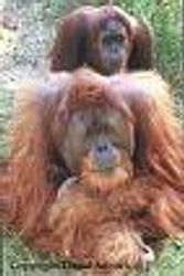 male and female orangutan-ape
