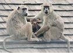 olive baboons-monkey