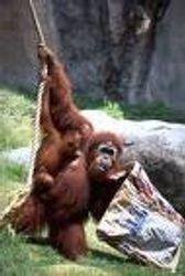 Orangutan-ape