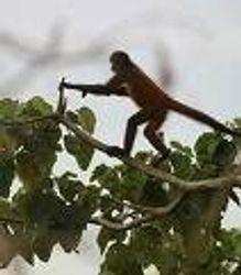 spider monkey-monkey