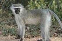vervet monkey-monkey