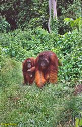 orangutans-ape