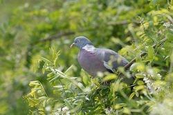 Common Wood-Pigeon   PIGEON RAMIER