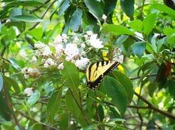 Butterfly on Mountain Laurel