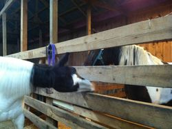 D-Day peeking in Willow's new stall (or maybe looking for hay)!