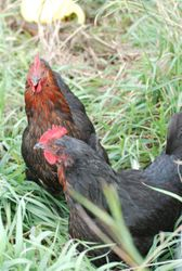 Black Sex Link Hens
