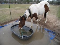 Ol' Girl getting a drink while getting her hooves wet