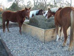 Horses eating hay on rocks to keep feet clean