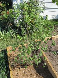 Grow Green - Mock Orange