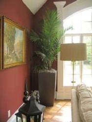 Fan Tail Palm