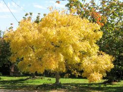 Golden Elm Beechworth