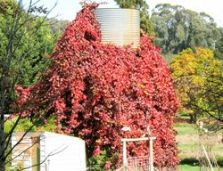 Spectacular Ornamntal grape over water tank-outside Stanley