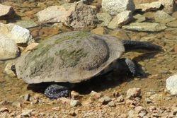 Eastern Long-necked turtle at  Winton Wetlands CFA Water Tank