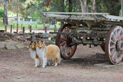 Lydia & Spinner 'pull' the Bullock Wagon in Gundagai, NSW
