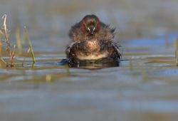 Castagneux - Little Grebe.