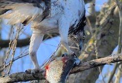 Balbuzard en Anjou - Osprey in Angevine area