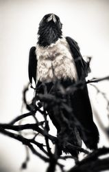Crows 02